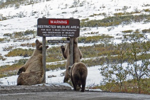 Brown Bears, Ann Leisenring
