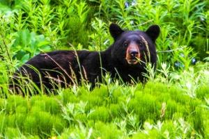 Rockies Black Bear
