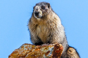 Marmot Canadian Rockies