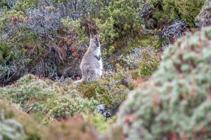 Mountain Wallaby
