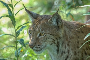 Lynx-Norway-PWP-blog