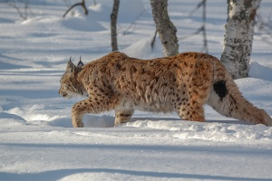 Lynx-winter-Norway-PWP-blog