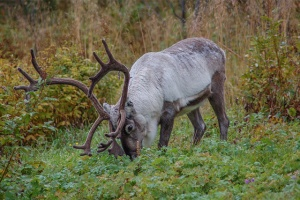 Reindeer-Norway-blog