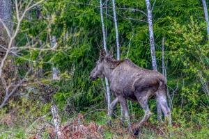 Sweden-moose