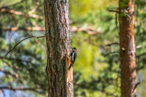 Sweden-Woodpecker