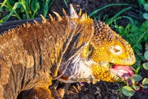BLOGGalpagos-land-iguana-tongue-feeding