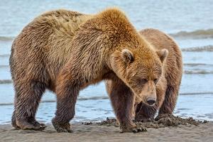 Alaska-bear-blog2