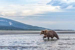 alaska-bear-fishing-blog