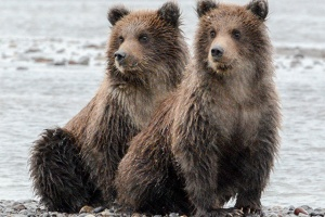 Alaska-grizzly-cubs-blog_