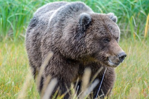 bears-alaska-blog1