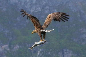 Sea Eagle with fish